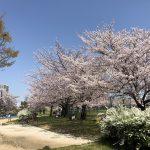 白鷺公園、桜満開です!